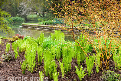Bright new leaves of cornus emerge amongst ferns, hostas and rodgersias beside the large pool at the Bishop's Palace Garden, ...