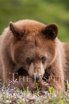 Yearling Cinnamon Black Bear