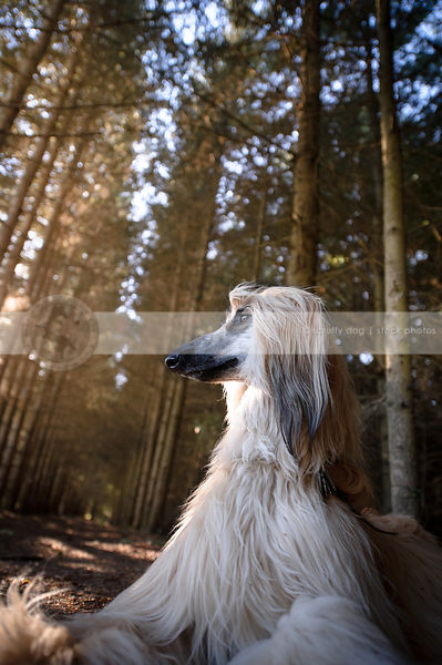 regal blond and black dog lying in pine tree forest
