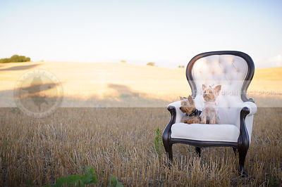 two small groomed yorkie dogs on chair in wheatfield