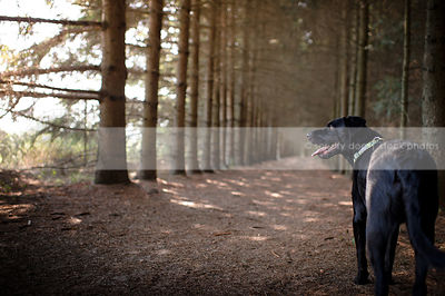 black dog from behind looking away in forest of pine trees