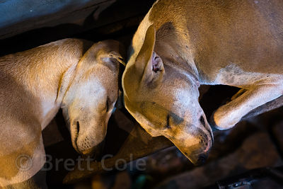 Classic India Pariah street dogs sleeping at night, Bangali Tola, Varanasi, India