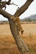 Lion climbing a tree, panthera leo, Selous Game Reserve, Tanzania