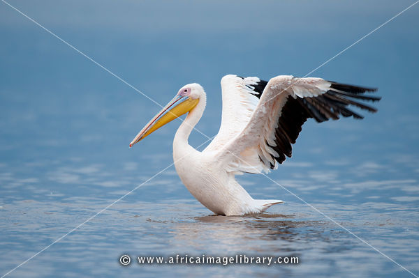 Great White Pelican, Pelecanus onocrotalus, Lake Nakuru National Park, Kenya