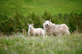 "Sheep farming in the Northumberland countryside. ""Breakneck Hill Cheviot"" breed."