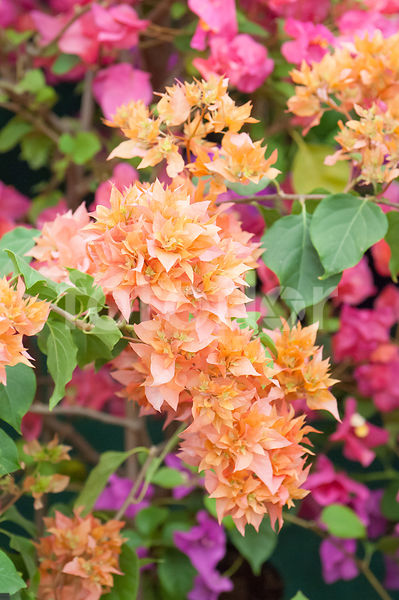Bougainvillea 'Golden Dubloon', Bougainvillée, orange