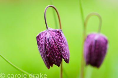 Fritillaria meleagris, the snakeshead fritillary at the Bishop's Palace Garden, Wells, Somerset in April