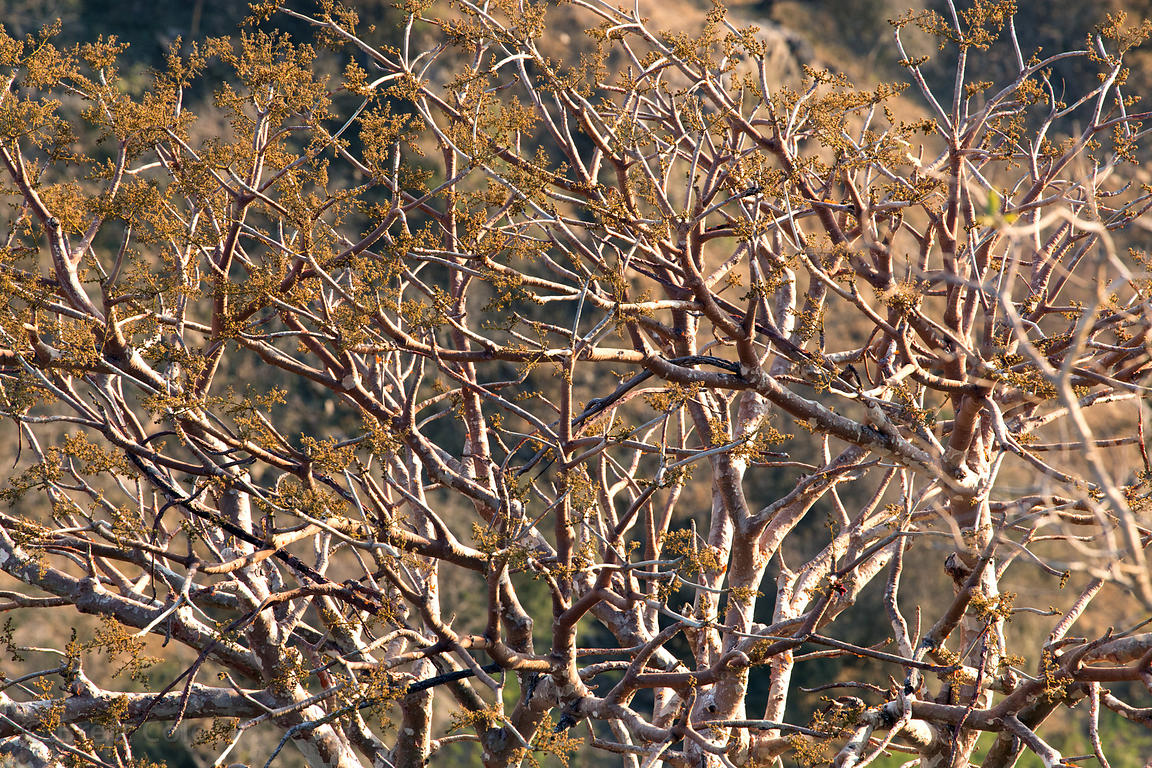 Early morning sun on native trees high in the Aravali mountains near Majhewla village, Pushkar, Rajasthan, India