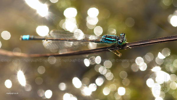 Male Common Blue-tailed Damselfly: