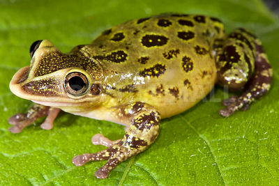 Shovel-nose tree frog (Triprion spatulatus)
