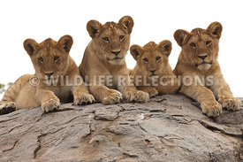 lion_cubs_kopje_row_four_2