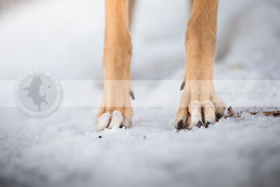 closeup of fawn dog paws toes and nails standing on snow