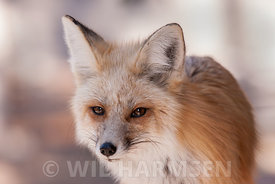 Portrait Fox