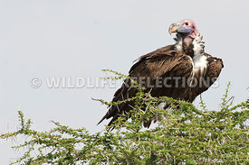 lappet_vulture_acacia_top201103_1