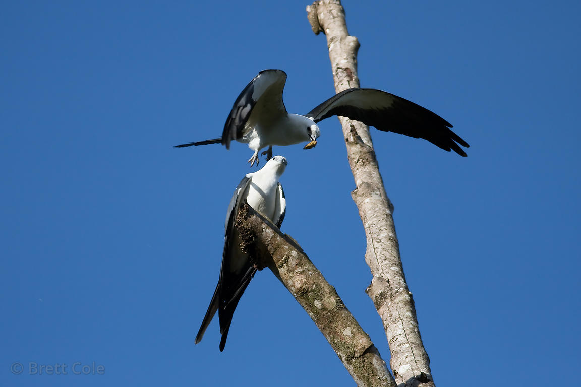 American swallow-tailed kite (Elanoides forficatus) bringing food (a cicada) to its mate, La Escondita, near San Isidro, Cost...