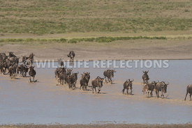 wildebeest_lake_crossing_sequence_02242015-34