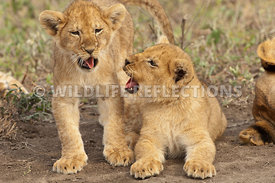 lion_cubs_faces