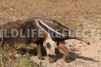 giant_anteater_walking09041379