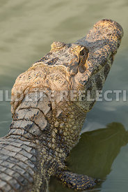 caiman_close_head-3