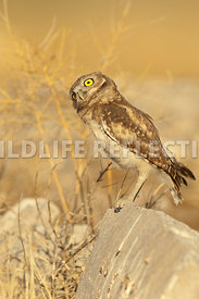 burrowing_owl_sideways