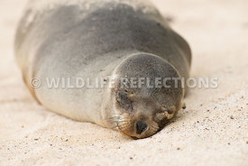 galapagos_sea_lion_santa_fe_sand_face-8