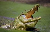 Nile Crocodile, Crocodylus niloticus, at Katchikally Sacred Crocodile Pool.  Crocodiles represent fertility in the Gambia. Ba...