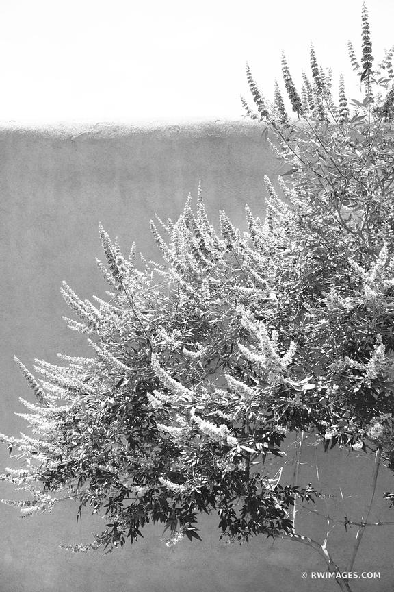 ADOBE WALL AND FLOWERING TREE OLD TOWN ALBUQUERQUE NEW MEXICO BLACK AND WHITE VERTICAL