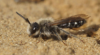 Andrena argentata, male at Knokke