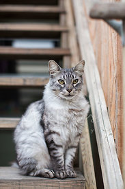 Green-Eyed Grey Striped Cat Sitting on Wooden Stairs