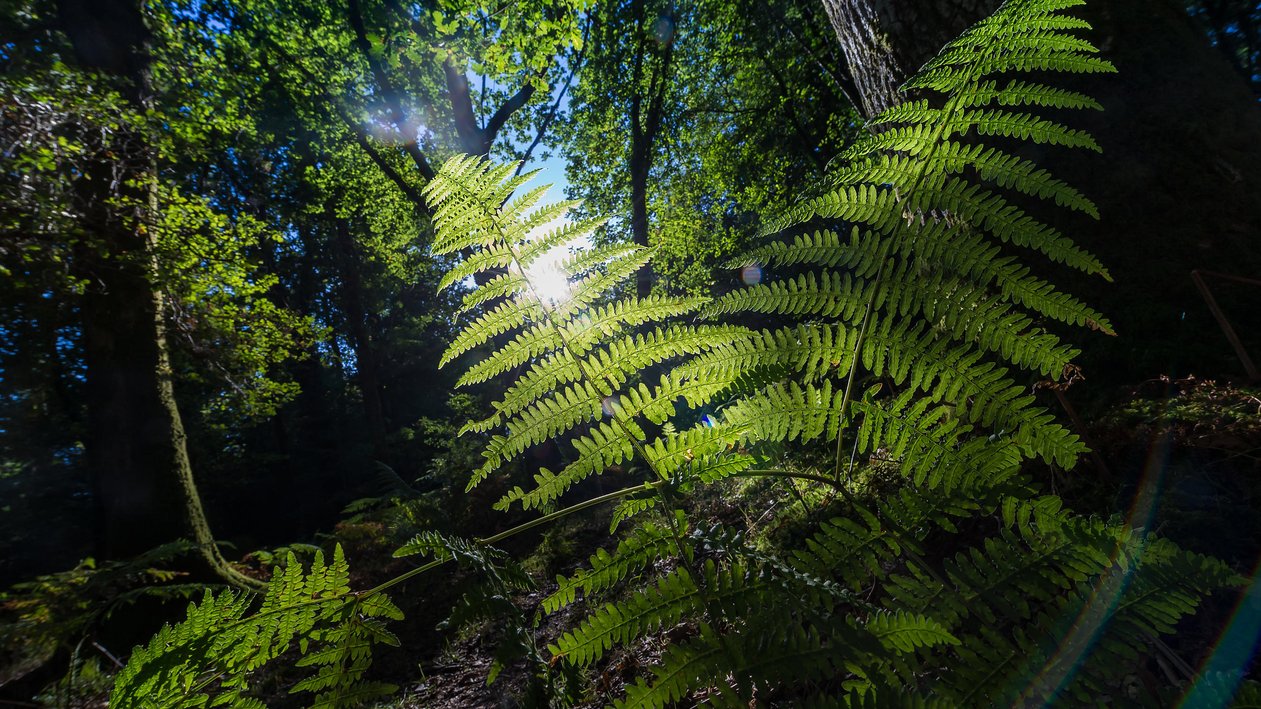 Sunlight Through Fern Leaves in a Forest