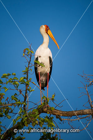 Yellow-billed stork, Mycteria ibis, Sadaani National Park, Tanzania