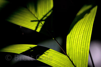 Leaf detail in forest along the Tambopata River, Peruvian Amazon