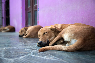 Street dogs sleep on a porch in Pushkar, Rajasthan, India
