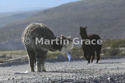 Alpaca (Lama pacos) doing its paperwork (eating a computer print-out it has found in the road), Region XV Arica-Parinacota, C...