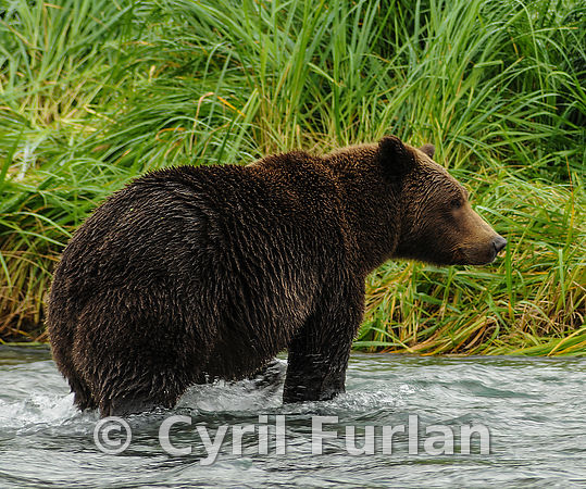 Female Brown Bear Standing in a salmon stream
