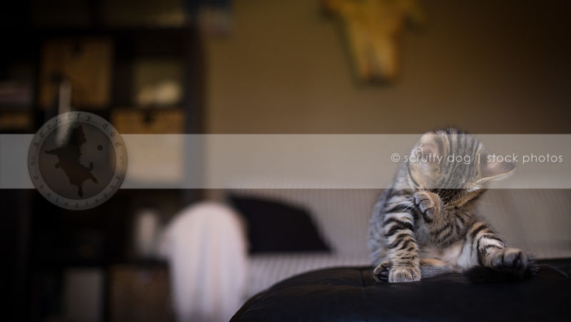 small brown striped kitten licking grooming sitting at home indoors