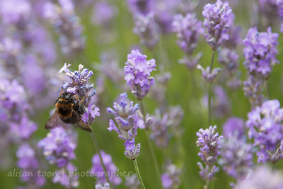 Bumblee in lavender