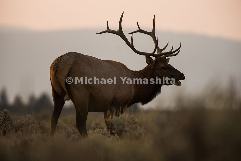 Bull Elk at sunrise along Teton Park Road. Grand Teton National Park, Wyoming...Jagged peaks of the Teton Range, lush meadows...