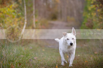 senior white shorthaired dog trotting along trail towards camera