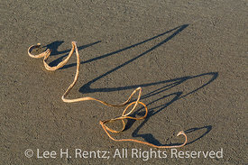 Bull Kelp and Shadows on Shi Shi Beach in Olympic National Park