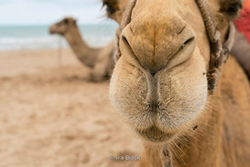 Camels on the Saidia beach in Berkan on the Moroccan-Algerian border in Morocco.
