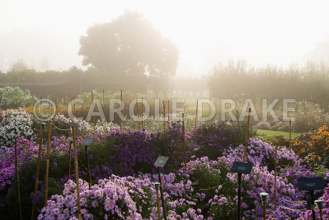 Lines of asters and other herbaceous plants in the stock beds on a misty autumn morning. Waterperry Gardens, Wheatley, Oxford...