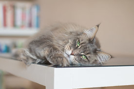 Grey Maine Coon Cat Lying on Glass Table