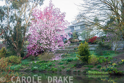 Magnolia sprengeri 'Marwood Spring' sited above the top pond. Marwood Hill Gardens, Barnstaple, Devon, UK