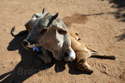 Injured cow and dog resting together at the Tree of Life for Animals rescue center in Pushkar, India
