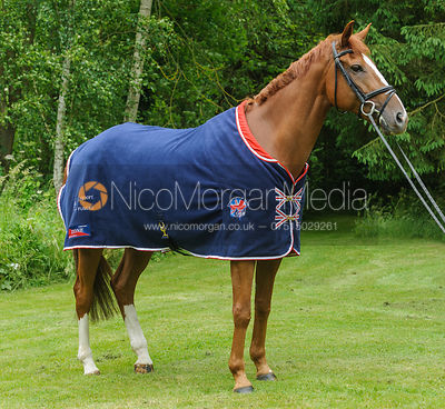 chestnut horse wearing Team GBR Rug - Royalty Free image