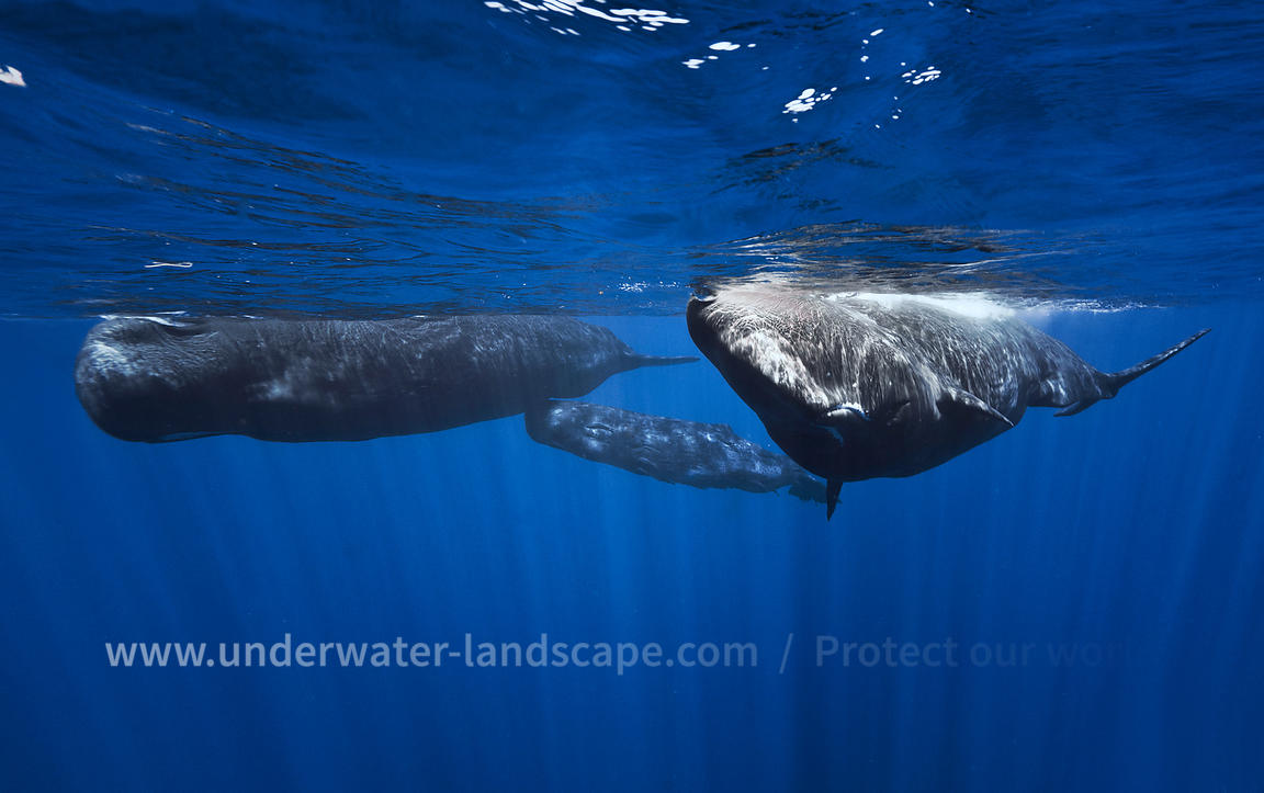 Sperm Whale family underwater