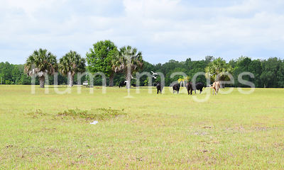 Cattle Stock Photos: Cows in Florida Pasture with Cattle Egret
