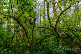 Mossy Branches | Marin County, CA
