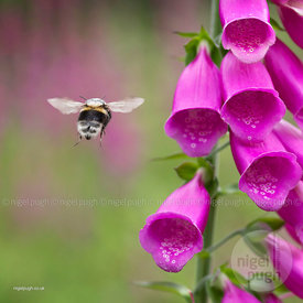 Bombus hortorum -foxglove (Digitalis)